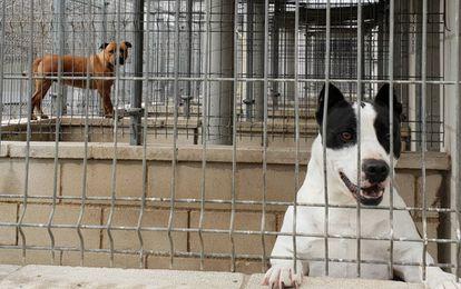 Desde la izquierda, 'Dwayne' y 'Torito', dos perros potencialmente peligrosos, en el refugio de la Sociedad Protectora de animales y plantas.
