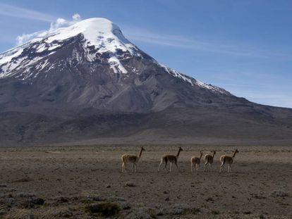 Llamas en el monte Chimborazo (Ecuador).