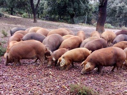 Cerdos rubio dorado en la premontanera de castañas.