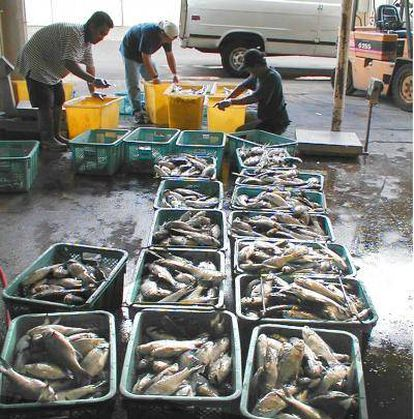 Clasificación de peces procedentes de una reserva de acuicultura, en Hawai, para su comercialización.