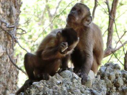 Unos capuchinos brasileños producen lascas que obligan a repensar la arqueología prehistórica
