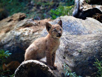 El lince europeo que ha nacido en cautividad en el Pirineo.