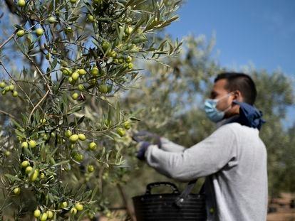 Recolección de aceitunas en una finca del Aljarafe sevillano.