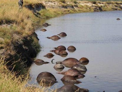 Un grupo de cadáveres de búfalo flota en el río Chobe, en la frontera entre Namibia y Botsuana.