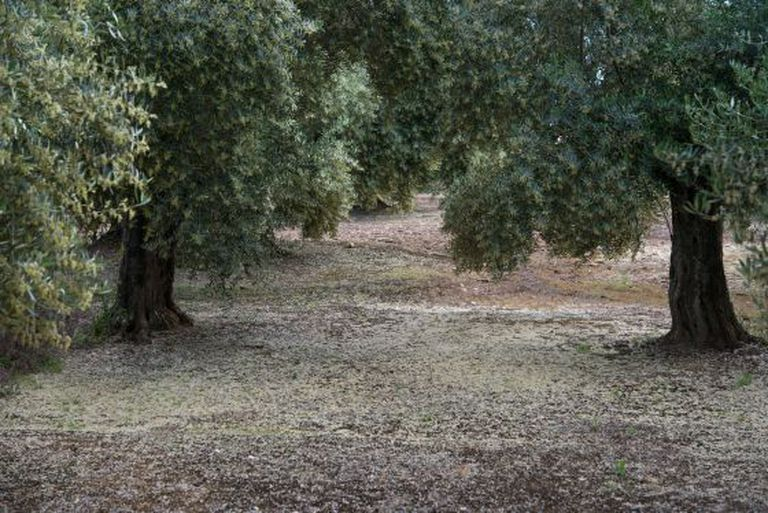 The pollen of the olive trees, here covering the land of a crop in Jaén, is one of the generators of allergies in the Mediterranean basin.