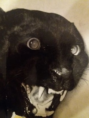 La pantera negra de Sivanipalli.