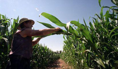 Campo de ensayos de maíz transgénico en en Aranjuez (Madrid).