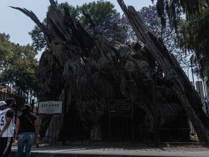 Visitantes observan este jueves la placa junto al ahuehuete por la conmemoración de los 500 años de la llamada noche victoriosa.
