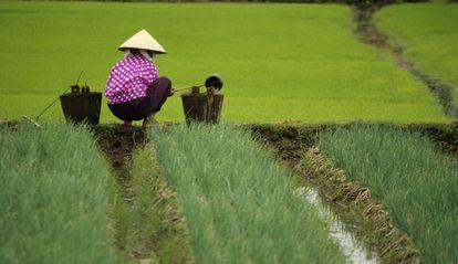 Un campesino trabaja en un campo de arroz cerca de Haiphong.