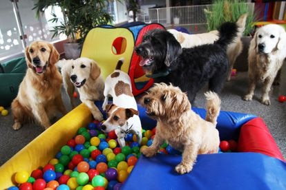 A group of dogs in the playroom of a five-star canine hotel in Saint Neots (England).