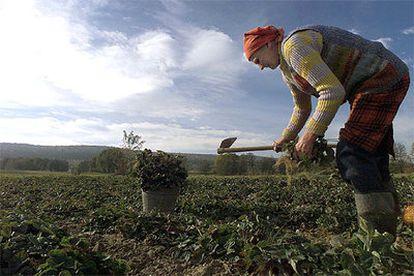 Una granjera cosecha fresas en Celiny (sur de Polonia), en una imagen de archivo.