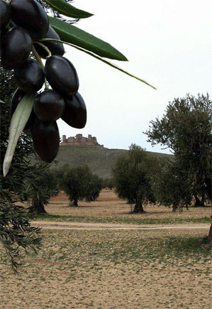 Vista de un olivar en los Montes de Toledo.