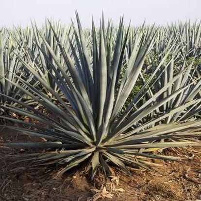 Proceso de embotellado de tequila en la factoría. Y campos de agave azul, el único empleado en la elaboración de tequila, en los terrenos de Melly Barajas.