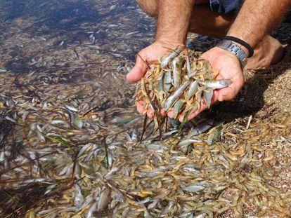Un hombre muestra algunos de los peces muertos a orillas del Mar Menor.
