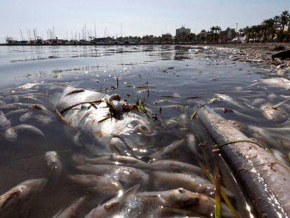 Peces muertos en playas del Mar Menor, en la zona de Villananitos y La Puntica, San Pedro del Pinatar, (Murcia). En vídeo, crónica del suceso.