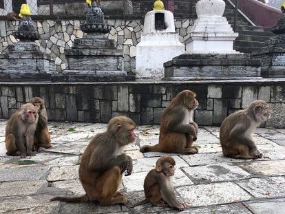 Por cercanía genética y física algunos monos, como estos macacos Rhesus, son fuente de varias zoonosis.