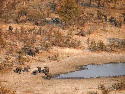 Una manada de elefantes en el área de Mababeen Botsuana, el 19 de septiembre de 2018.