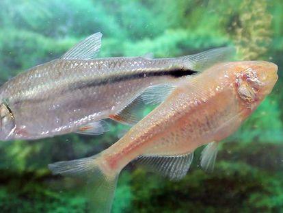 Una sardina ciega (derecha), junto a un pez de río de la misma especie.