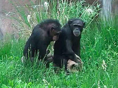 Las Chimp Sisters