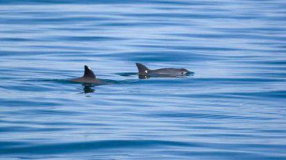 Un par de vaquitas marinas en el Golfo de California.