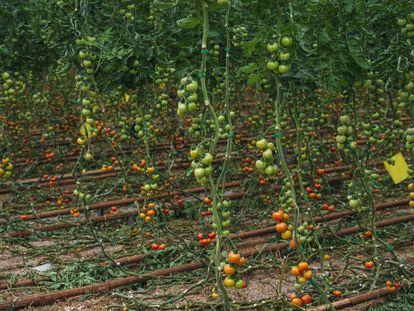 Riego por goteo en un invernadero de Almería donde se cultivan tomates.