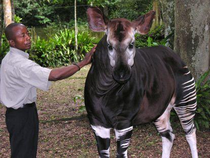Un okapi en la República Democrática del Congo.