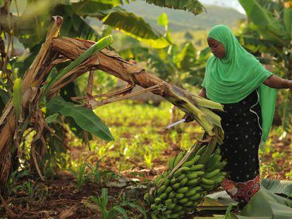 Cosecha de bananas en Tanzania.