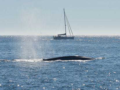 Fotografía de una ballena azul en las costas gallegas, realizada con un permiso para la investigación científica para el proyecto BALAENATUR