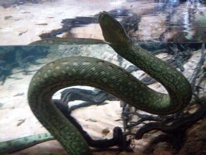 Una anaconda en el bosque inundado de Cosmocaixa en Barcelona.