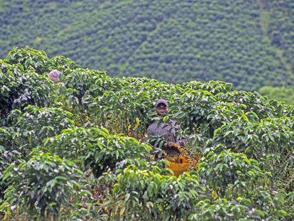 Un caficultor colombiano en plena recolección de una cosecha que este año fue buena, exceptuando en alguna zona por la falta de lluvias.