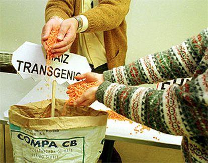 Dos personas muestran granos de maíz transgénico.