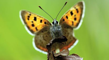 Una mariposa manto bicolor ('Lycaena phlaeas').