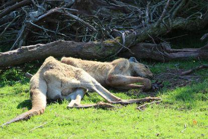 Imagen de un canguro desnutrido en el zoo de Cumbria, en Reino Unido.