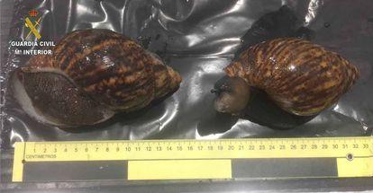 Dos ejemplares de caracoles gigantes incautados en el aeropuerto de Bilbao.