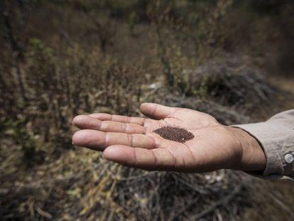 Un campesino muestra semillas de amapola en Guerrero.