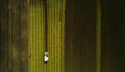 Cosecha de arroz en Moagang, a las afueras de Shanghái (China).
