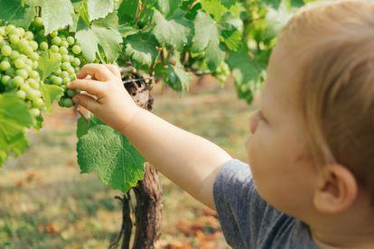 Un niño coge una uva.
