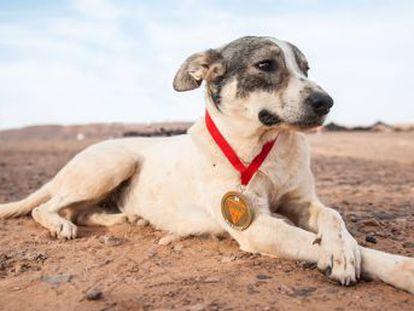 El animal logró alcanzar la meta del Marathon des Sables