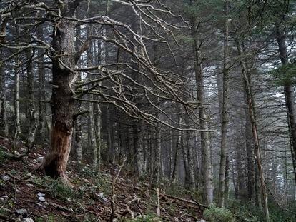Un decrépito pinsapo en medio de un bosque de pinos. A la izquierda, vista del futuro parque nacional, queva desde los 200 metros de altura hasta los 1.919 del picoTorrecilla. Abajo, el profesor emérito Baltasar Cabezudo.
