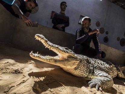 Mamdouh Hasan muestra a los visitantes uno de los cocodrilos que cría en su casa de Gharb Soheil.