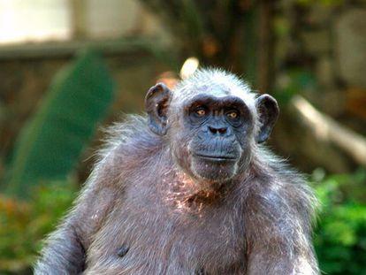La Vieja, el chimpancé más longevo de Europa