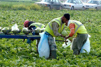 Jornaleros recogen lechugas en una explotación agraria de Murcia.