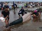 Volunteers try to keep alive some of the hundreds of stranded pilot whales after one of the country's largest recorded mass whale strandings, in Golden Bay, at the top of New Zealand's South Island