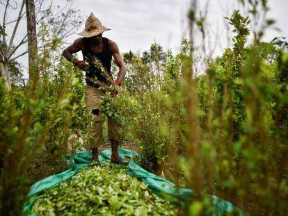 Migrantes venezolanos trabajan como recolectores de hoja de coca en la región del Catatumbo.