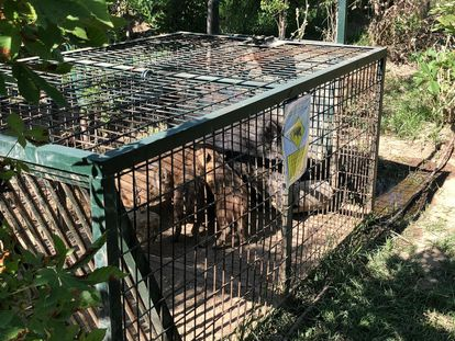 Una jaula con jabalíes capturados en la Casa de Campo.