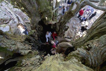 El tejo de Barondillo antes del vallado. Los visitantes entraban en el interior del tronco del árbol, lo que afectó seriamente a su salud.