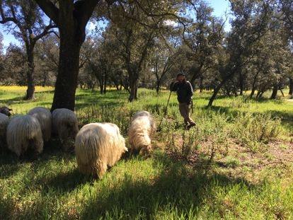 Un pastor con sus ovejas en la Casa de Campo, en Madrid.