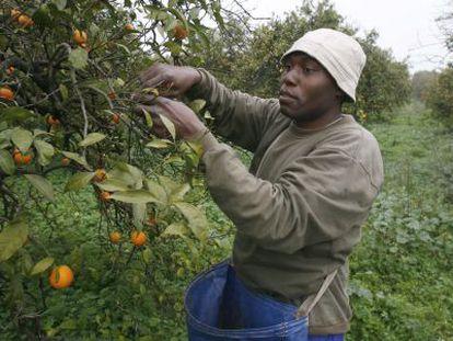 Un inmigrante trabaja en la recolección de naranja en Brenes.