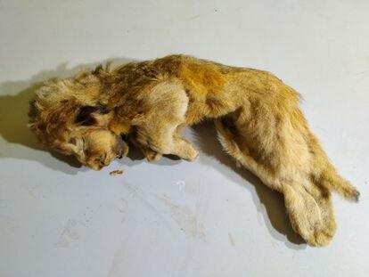 La cachora de león cavernario Esparta de hace 28.000 años, en una de las instalaciones de la Academia de las Ciencias de Sajá-Yakutia.