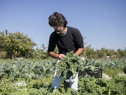 El campesino Ferran Berenguer recoge verdura de producción ecológica en uno de sus campos del parque Agrario del Llobregat.